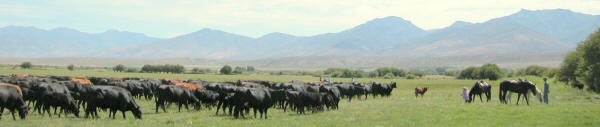 Nevada cattle and horses.
